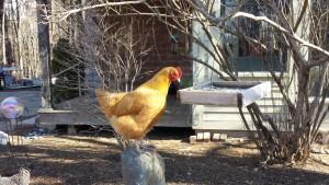 Kath chicken